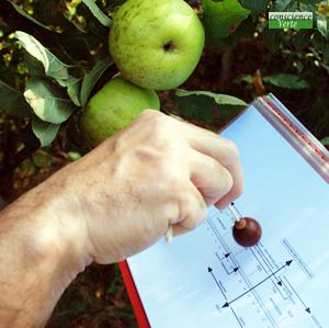 recherche radiesthésique valeur énergétique pomme sur un arbre